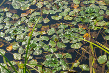 Swamp Background - Aquatic Vegetation Leafs On Water Surface