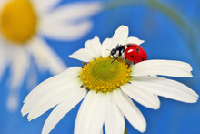 Ladybug Leisurely Runs On A Fi...