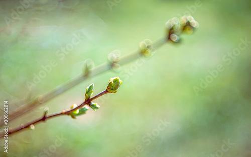 Fototapeta Early spring branch and bud obraz