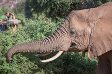 Safari Tourists Are Watching An Elephant Eating In The Bushes From A 4x4 In Samburu In Kenya, Africa. Explore, Tourists, Photography, Sightseeing, Game, Big Five, Safari Concept.
