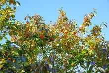 Orange Persimmon Kaki Fruits Growing On A Tree In The Fall