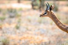 Wildlife Portrait Gerenuk Gaze...