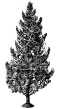 Christmas Tree - Vintage Engra...