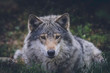 Grey wolf relaxing in the grass. Wilderness, wolf, predator, relaxing, animal, usa, america, bush concept.