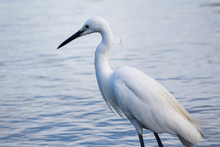 Great White Egret Or Great Whi...