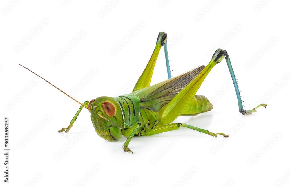 Fotografie, Obraz Green grasshopper isolated on a white backgroun