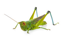 Green Grasshopper Isolated On ...
