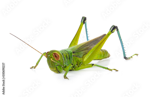 Green grasshopper isolated on a white backgroun Canvas-taulu