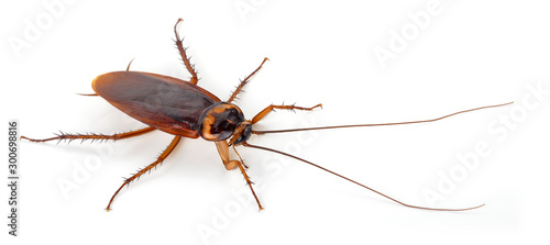 Fotografie, Tablou Cockroach isolated on a white background