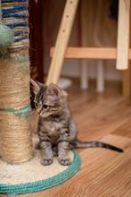 Striped Kitten 3 Months Old Si...