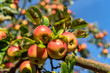 canvas print picture - Apfelbäume auf dem Lohrberg in Frankfurt am Main