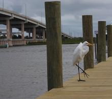 Great Egret Walking Florida Dockside