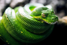 Green Tree Python With Skin Texture And Yellow Eyes On Black Background. Powerful, Green, Zoo, Reptile And Snake Concept.