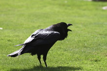 Black Crow On Grass