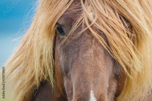 Photo Icelandic horse eyes and hair
