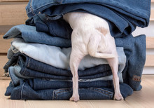 Chihuahua Dog. A Small White Dog Of The Chihuahua Breed Is Hiding In A Pile Of Jeans, Tail Curled. The Back And Hind Legs In The Frame.