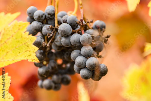 Photo Red vineyards in the appellation of origin The valleys of Benavente in Zamora (S