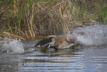 Closeup Shot Of A Goose Landin...