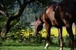 Soll ich gehen oder bleiben? Braunes Pferd steht frei im Garten