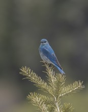 Vertical Closeup Shot Of A Mountain Bluebird On A Branch With A Blurred Background