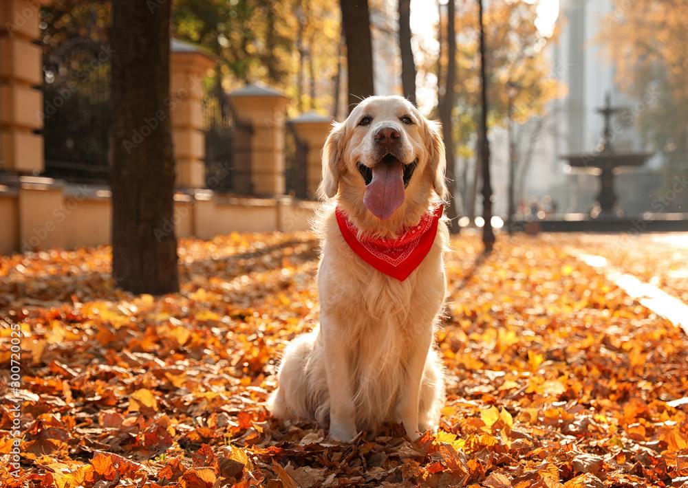 Fototapety, obrazy: Funny Golden retriever in sunny autumn park