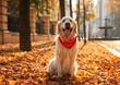 Funny Golden retriever in sunny autumn park