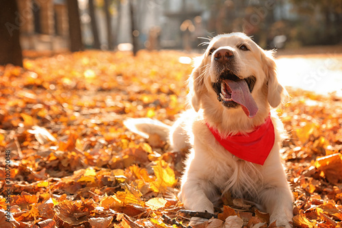 Obraz na plátně Funny Golden retriever in sunny autumn park