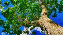 Sweet Chestnut Tree Canopy Aga...