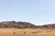 Przewalski-Pferde: Die letzten Wildpferde