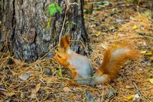 Squirrel In The Tanais Park, V...