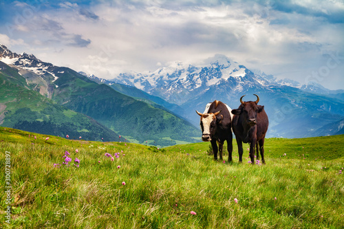 Spoed Foto op Canvas Bleke violet Two grazing cows on a field in the mountains, sunny day, green grass and snowy peaks.