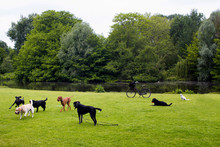View Of Dogs Playing On Grass ...