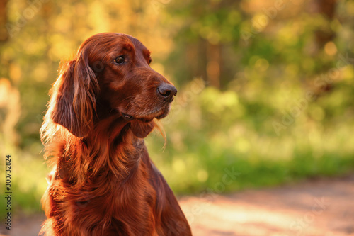 Photo Irish red setter portrait on green grass background, outdoors, horizontal