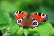canvas print picture - Tagpfauenauge  Aglais io  , Schmetterling