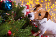 Jack Russell Terrier As Christmas Present For Children Concept. Four Months Old Adorable Doggy Under Holiday Tree With Wrapped Gift Boxes, Festive Lights. Festive Background, Close Up, Copy Space.