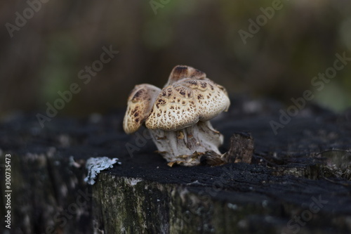 Beautiful forest mushrooms with a white cap and brown specks on a stump Wallpaper Mural