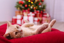 Beautiful Red British Shorthair Cat Over The Christmas Tree With Blurry Festive Decor. Portrait Of Beloved Pet At Home And Pine Tree With Bokeh Effect Lights. Close Up, Copy Space.