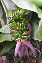 Banana Plant With Bananas – ...