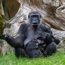 Gorilla And Baby, Monkeys Sitting On The Grass