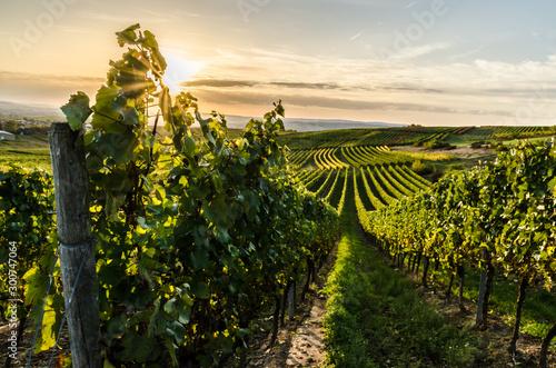 Weinberg in Rheinhessen im Sonnenuntergang Canvas