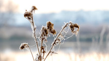 Frosty Dry Thistle Stalks On River Background_