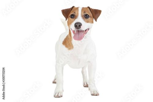 Fototapeta Beautiful Jack Russell Terrier dog isolated on white background