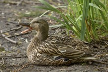 Closeup Shot Of A Duck Sitting On The Ground Near Plants While Quacking With A Blurred Background