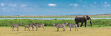 Fototapeta Sawanna - A large elephant coming out of the river, all wet, in the marshes in Tanzania, with a herd of zebras