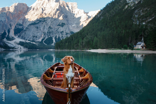Poster Lac / Etang Nova Scotia Duck Tolling Retriever at the Lake Braies mountain lake in Italy. hiking and traveling with a dog.