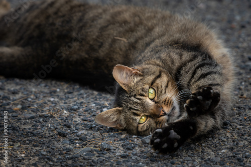 A tabby cat lying on the ground and stretching Tablou Canvas