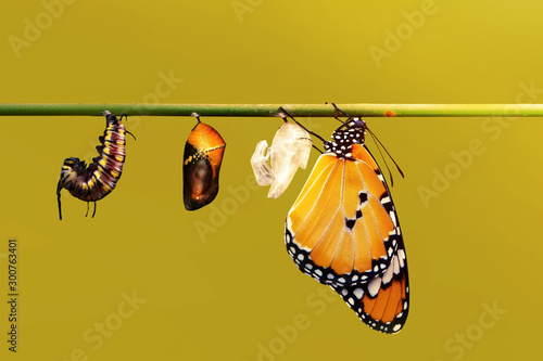 Tuinposter Vlinder Amazing moment ,Monarch Butterfly, pupae and cocoons are suspended. Concept transformation of Butterfly