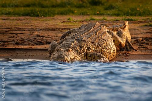 Leinwand Poster Nile Crocodile - Crocodylus niloticus large crocodilian native to freshwater hab