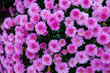 Leinwandbild Motiv Chrysanthemums small bush autumn bloom