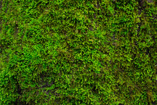 Green Mossy Texture, Background. Ecology Concept, Forest Plant, Place For Text.